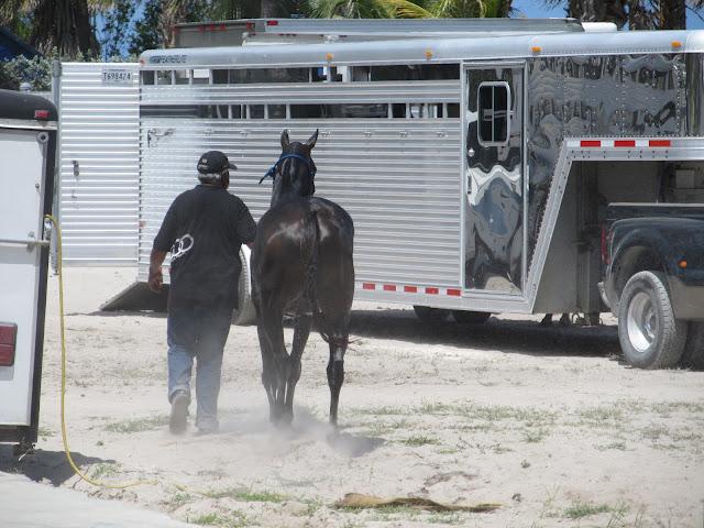 polo horse,black horse,black guy