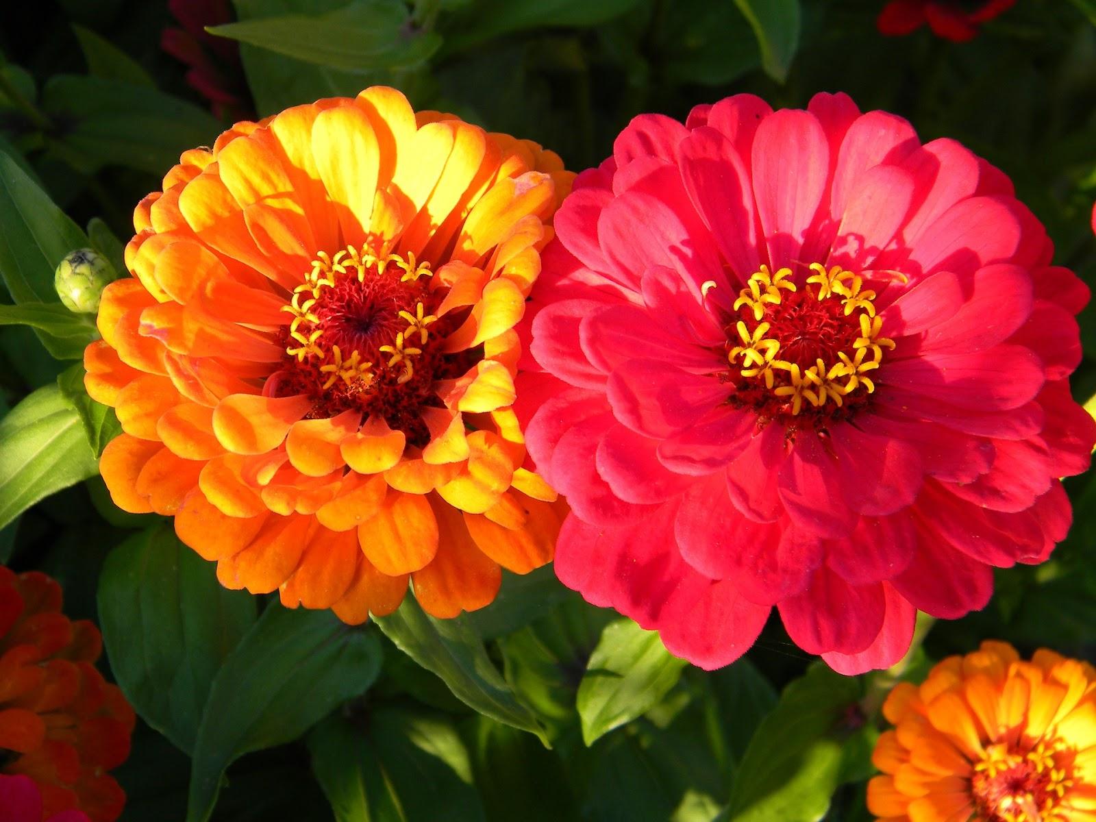 розовые домашние цветы с названиями и фото