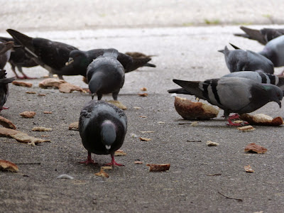 the Ripening, photo a day, pigeons, feeding birds