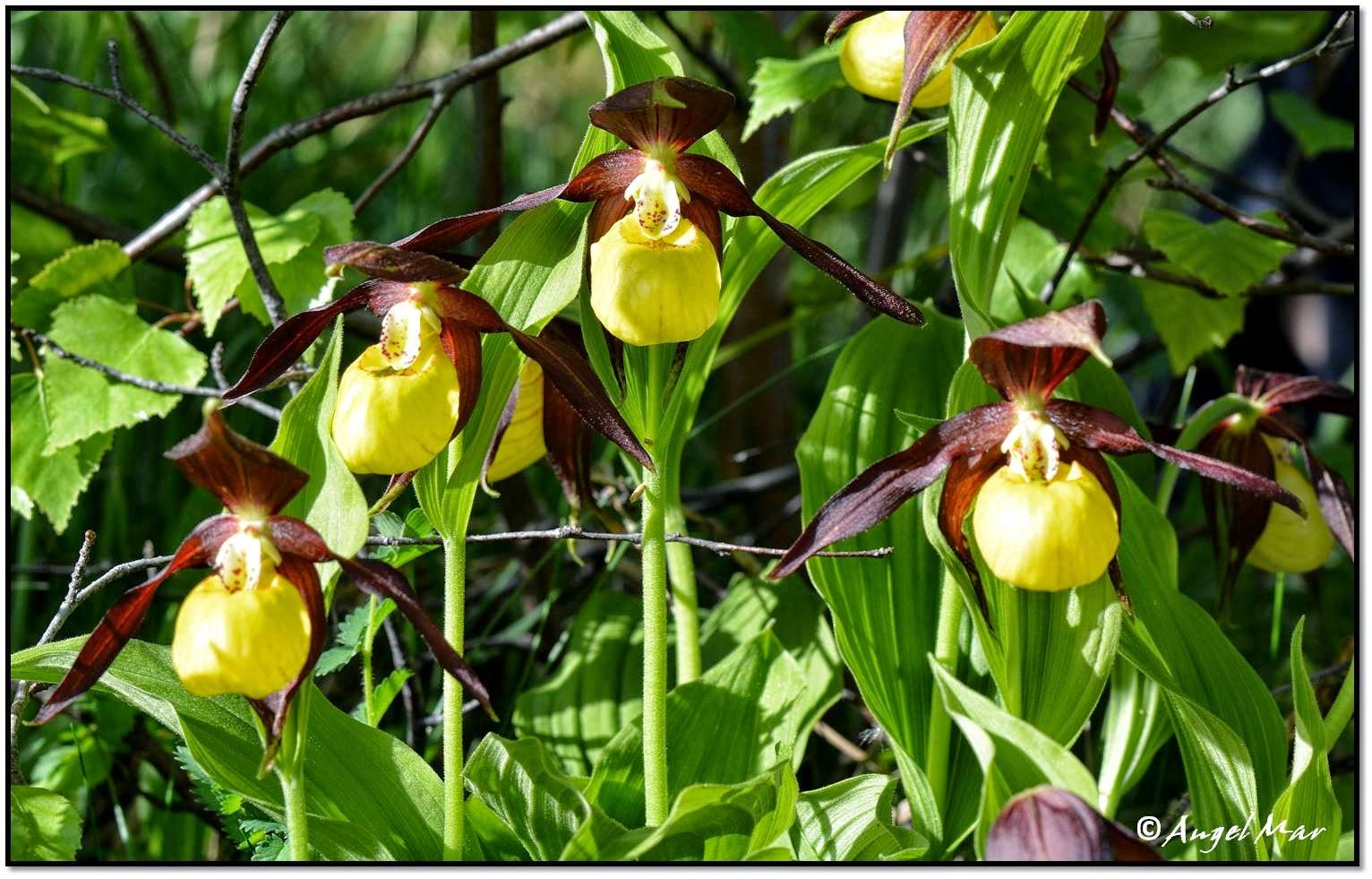 Es una de nuestras orquídeas silvestres más conocidas y aunque no es la más amenazada, ni la más escasa, en la actualidad su presencia se limita a sólo 3