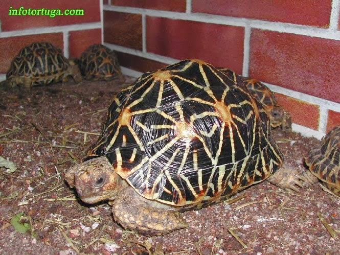 Preciosa tortuga estrellada en sus instalaciones