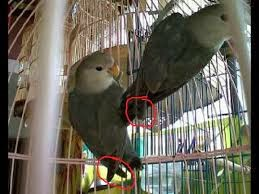 Image Result For Cara Merawat Lovebird Umur  Minggu