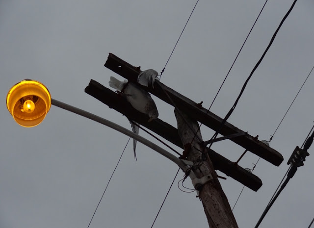 Seagull,street_light,dead,electrocuted,Bangor,Maine
