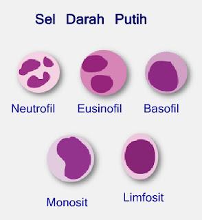 Macam-macam sel darah putih