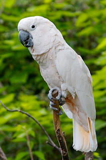 Moluccan Cockatoo Bird Pictures