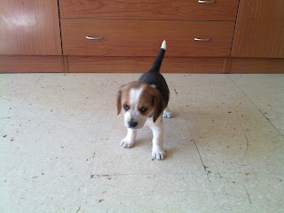 Iris, nuestra amiga perrita, raza beagle