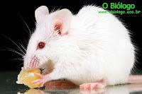 fígado, rato, transplante, células-tronco