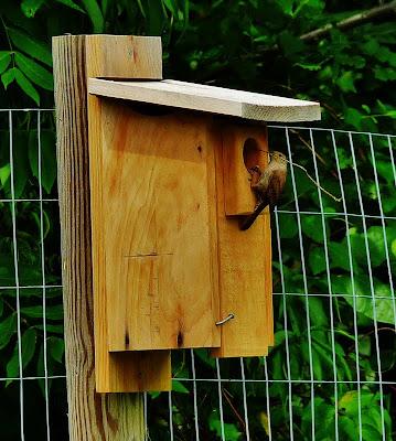 Wren building a new nest