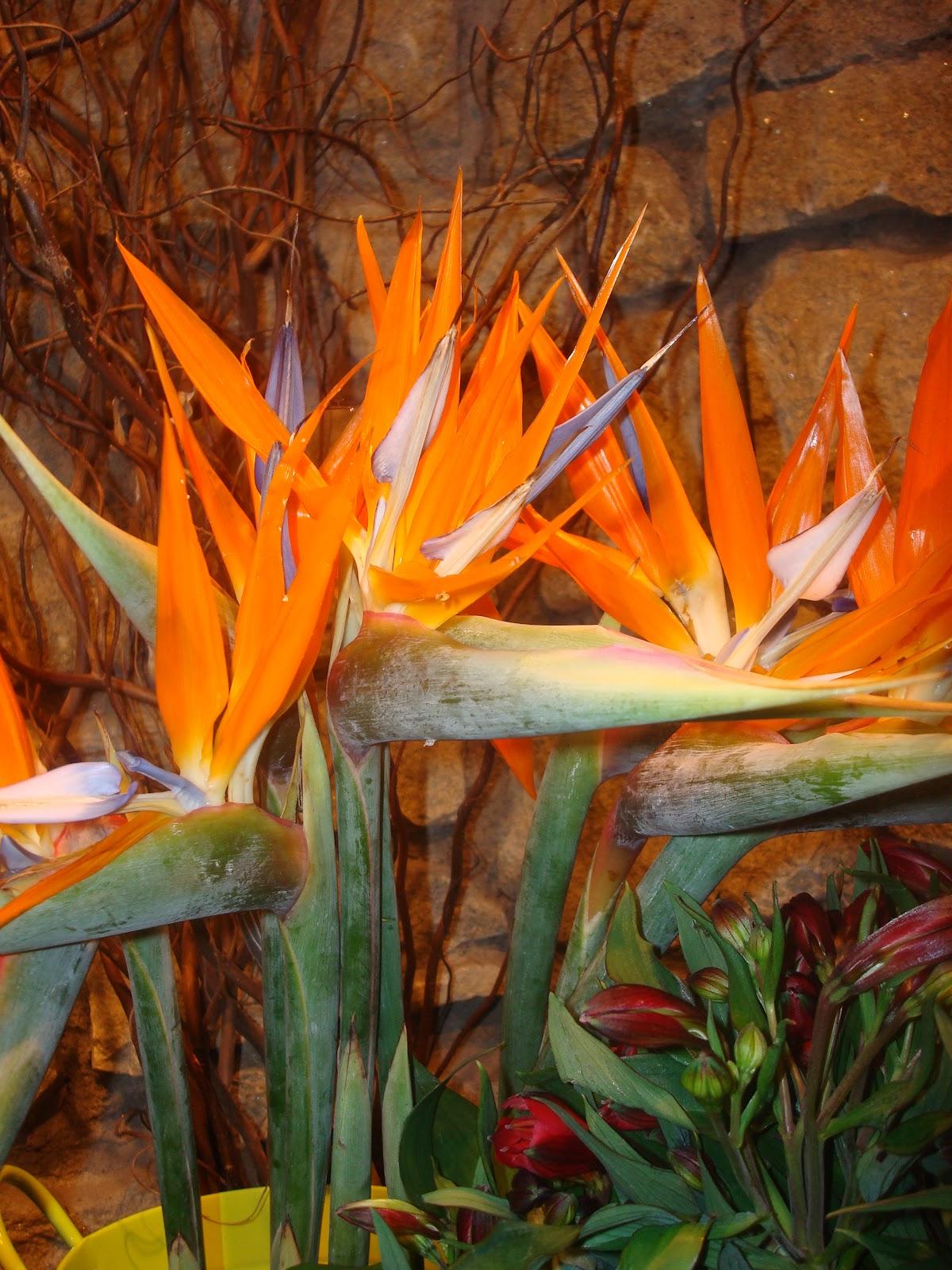 Fleuriste isabelle feuvrier les premiers amaryllis et for Amaryllis fleuriste