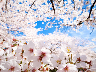 White Cherry Blossoms Cherry Trees HD Wallpaper