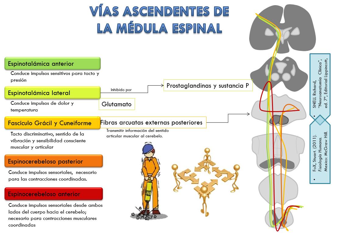 Moderno Anatomía Y Fisiología De La Médula ósea Bosquejo - Anatomía ...