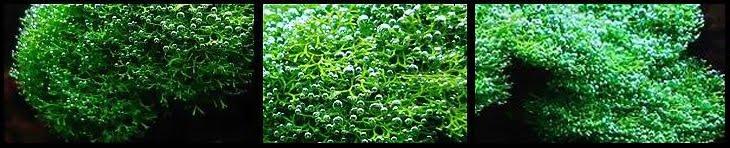 Aquatic Plant Riccia Fluitans sp. Dwarf