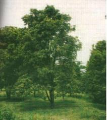 pohon cengkeh banyak tumbuh di daerah tropis