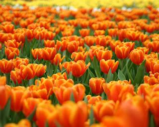 tulipan naranja