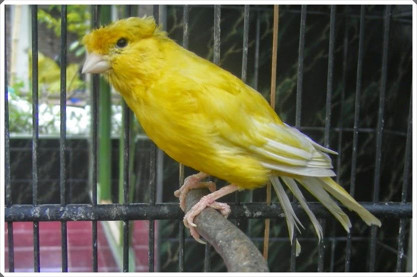 http://www.burungperkicau.com/2015/04/tanda-tanda-burung-kenari-sakit-lesu.html