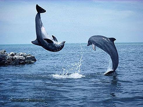 Dolphins In Lovina Beach