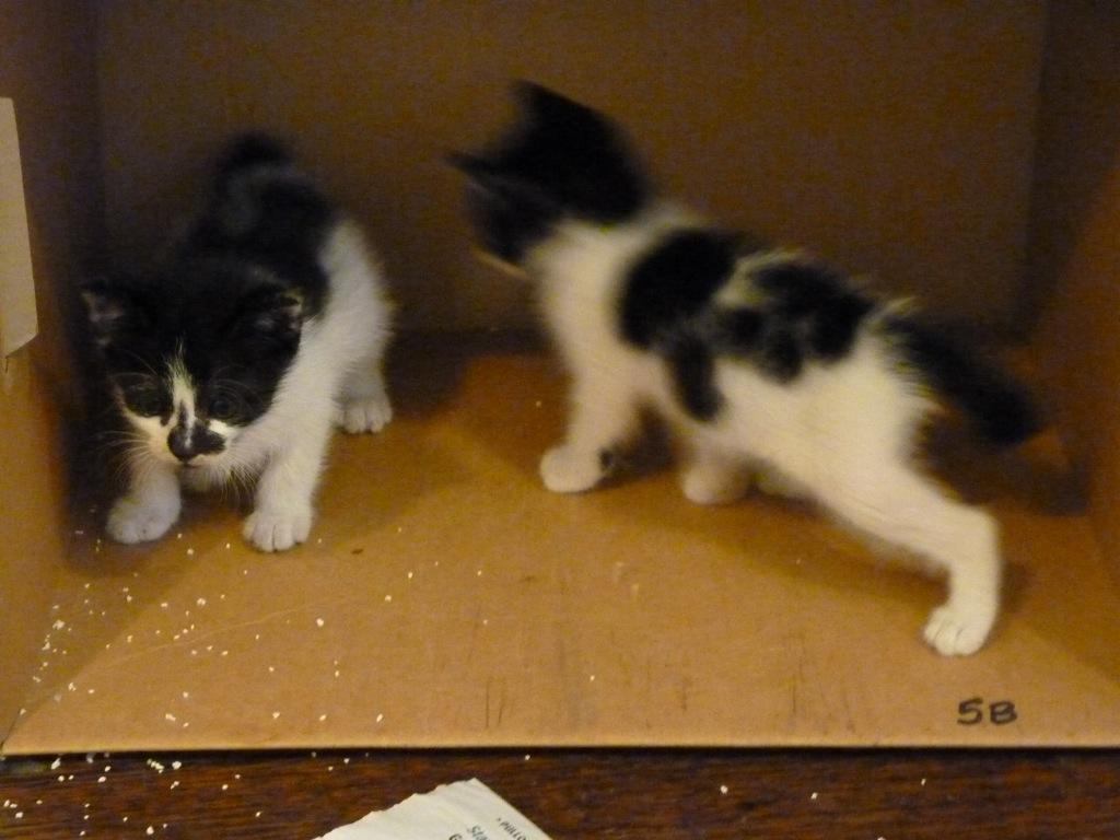 Green Animal Shelter & Sanctuary (GrASS): PENANG: kitties ...