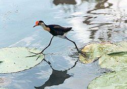 Jacana Bird
