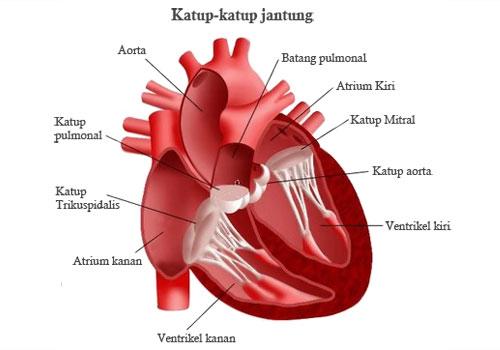 Katup-katup jantung