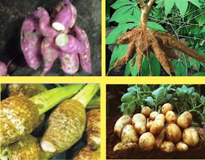 tanaman pangan umbi
