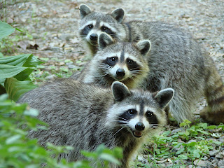 Raccoons picture