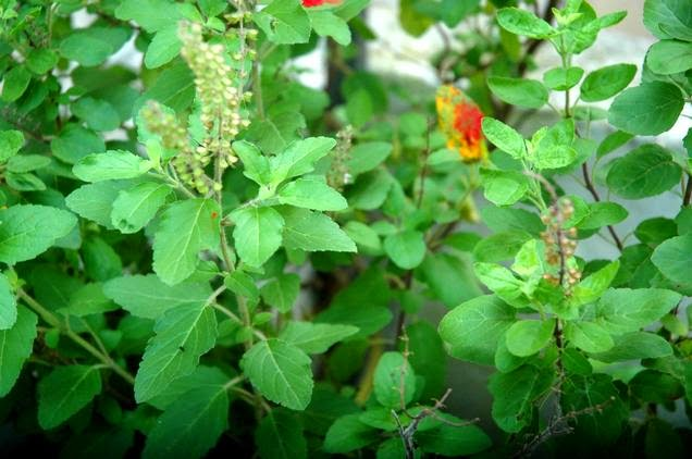 Why indian worship Tulsi