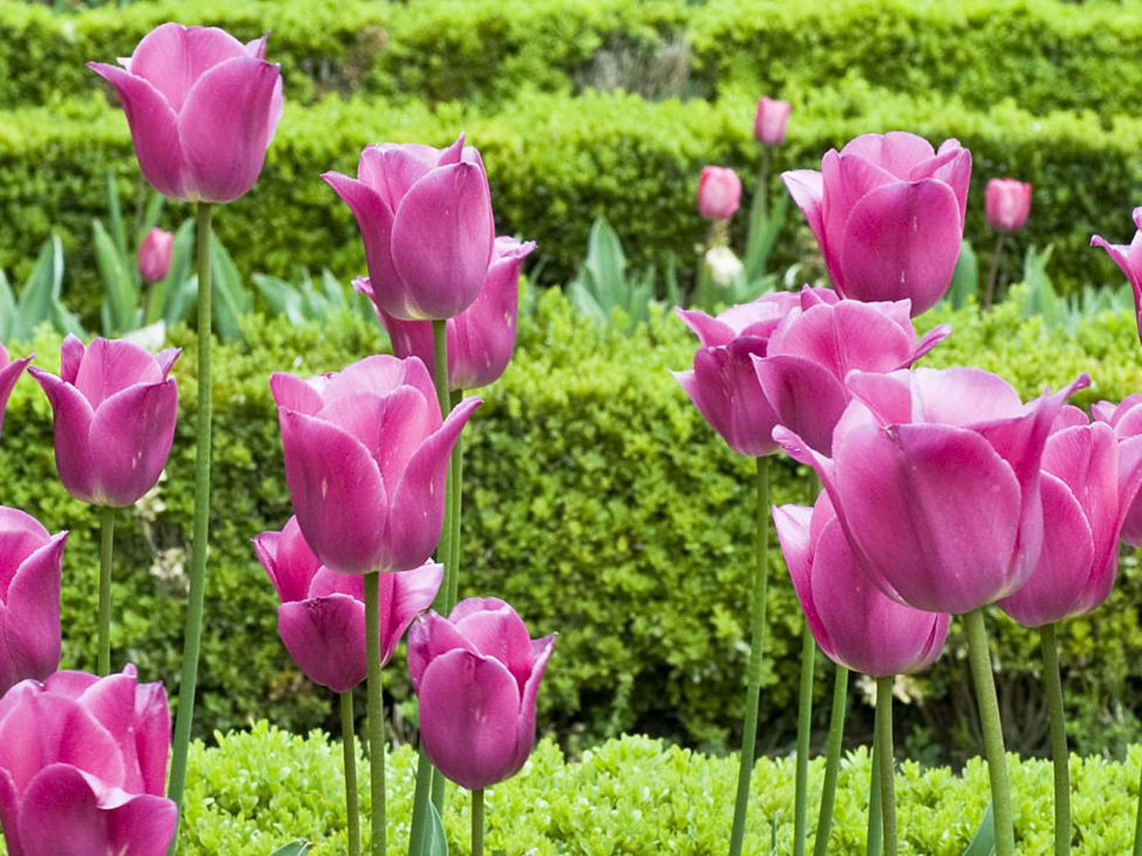 Pink Tulip Flower 2013 Wallpapers