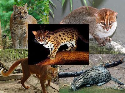 Jenis kucing liar langka yang hidup di Indonesia