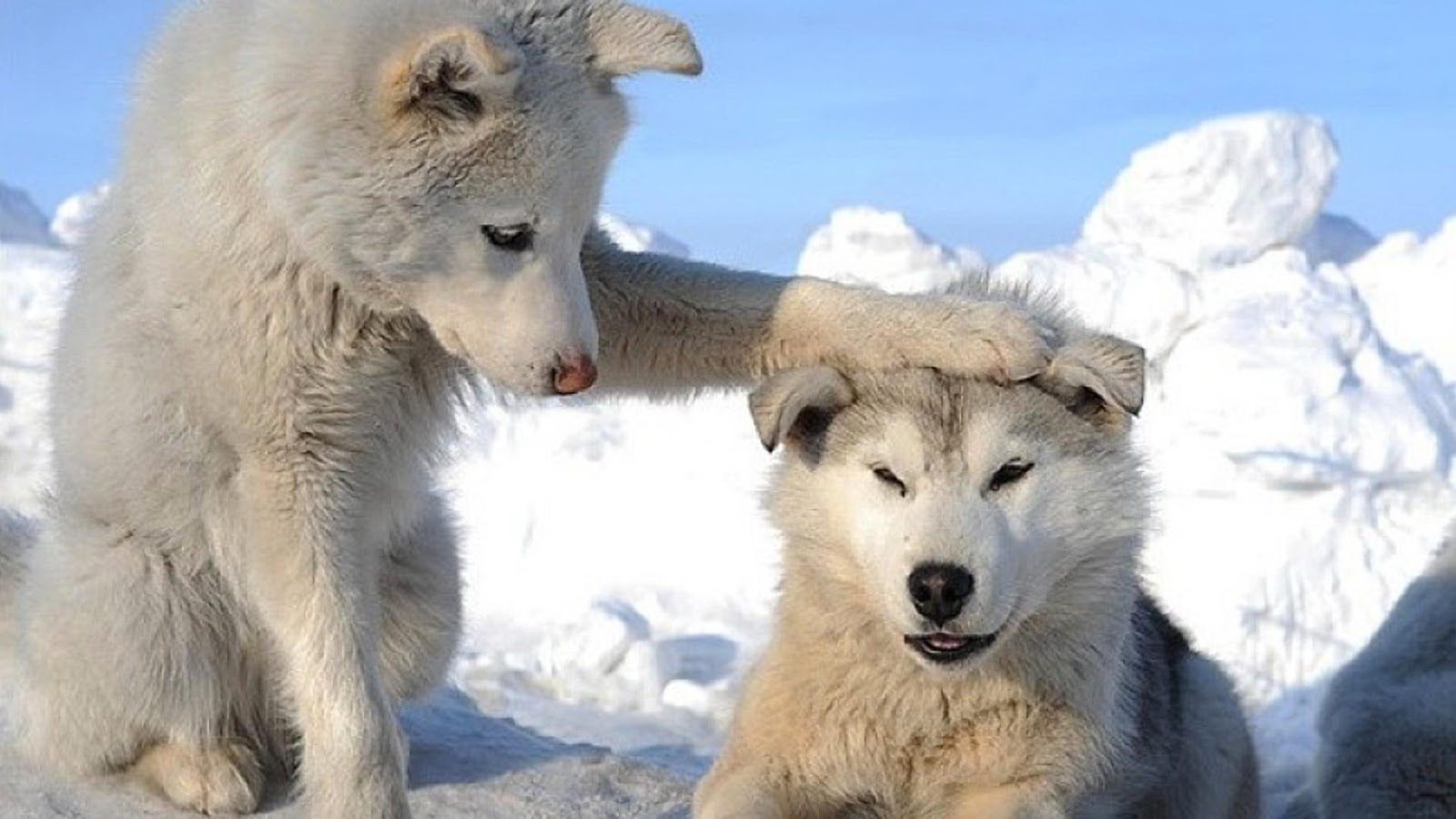 White Wolf : Huskies Go Crazy: 17 Funny Husky Pictures ...