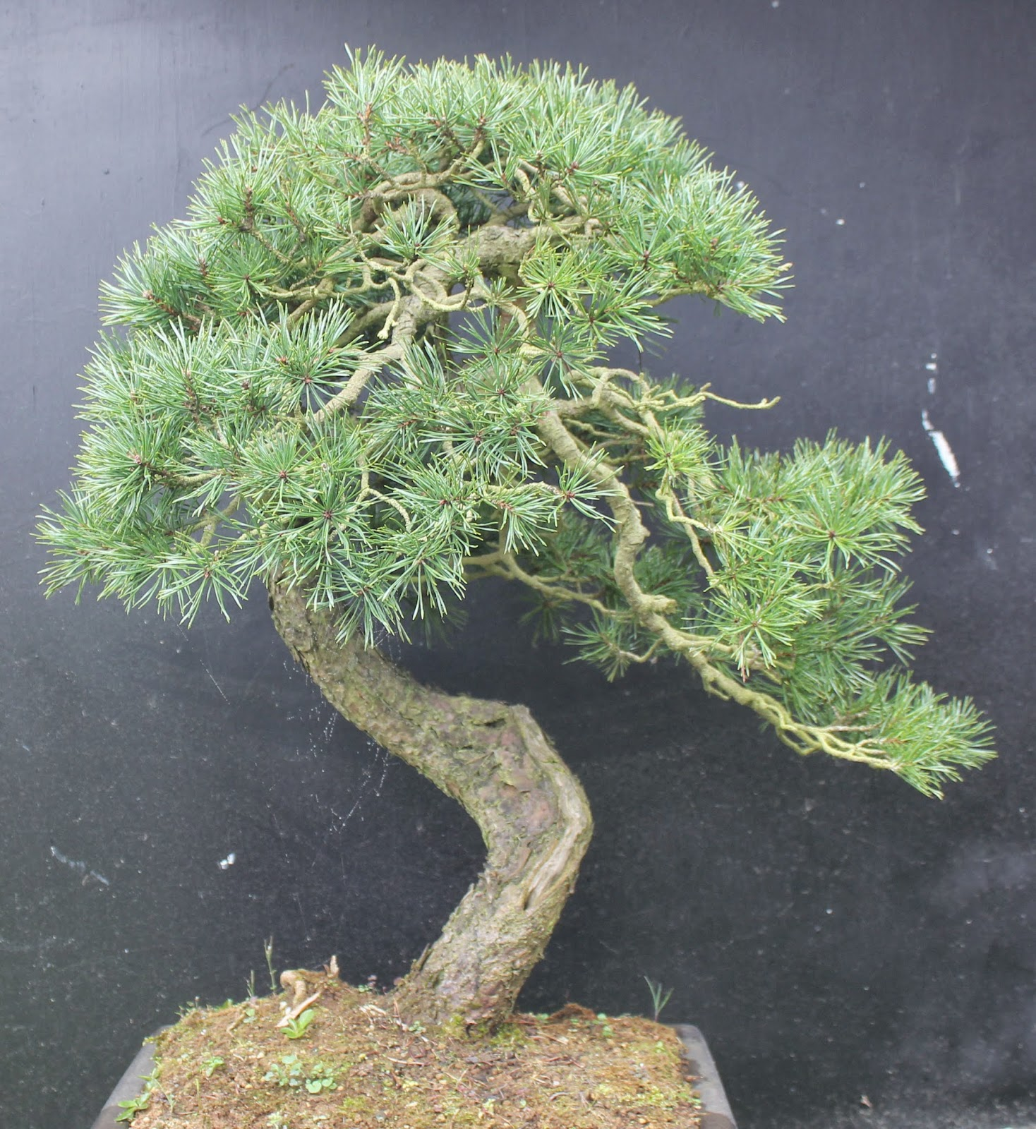 Wildwoodbonsai April 2011