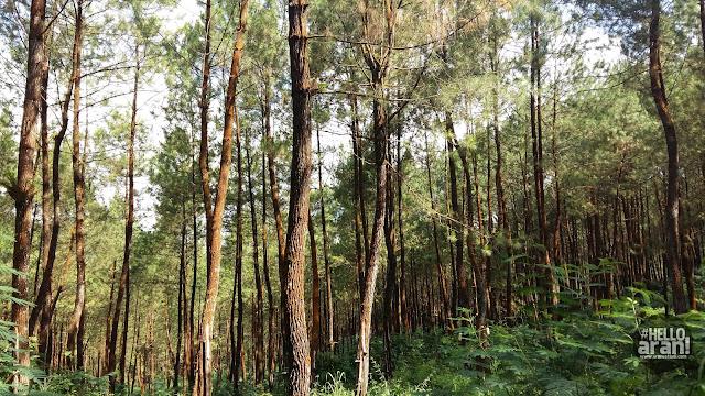 hutan pinus, pinus, kalibening, hutan Banjarnegara