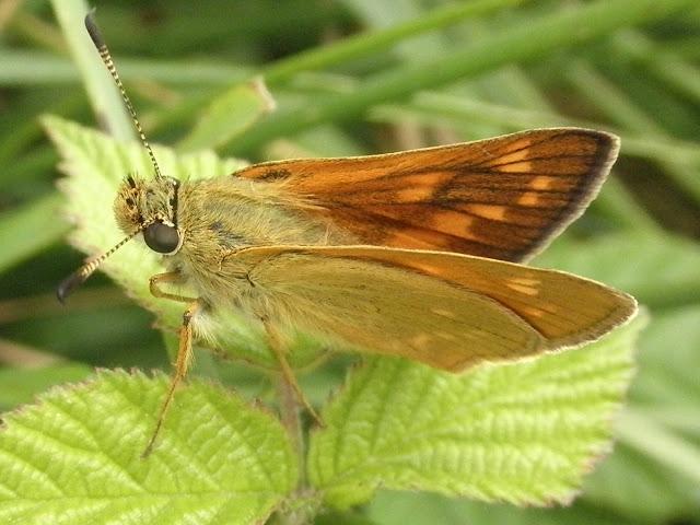 mariposa Dorada orla ancha
