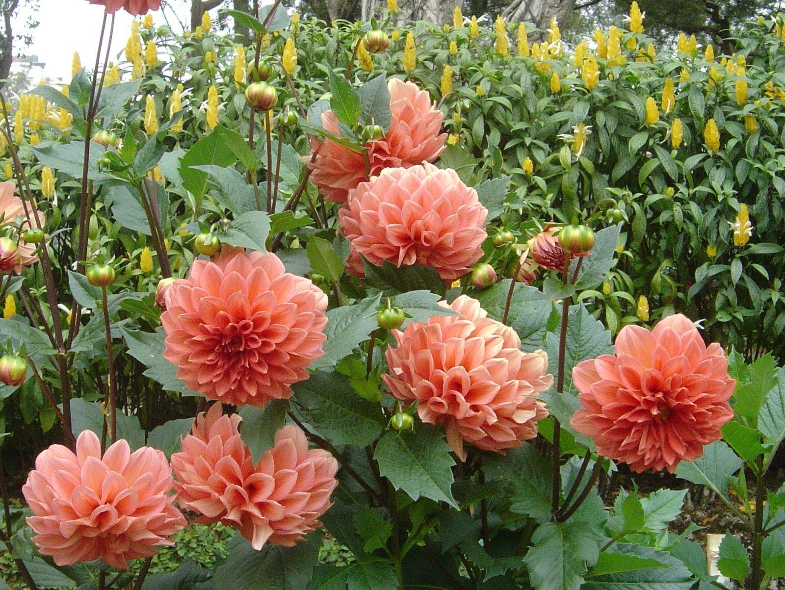 Beautiful Dahlia Flower Wallpaper Dahlia Flower Wallpaper Free