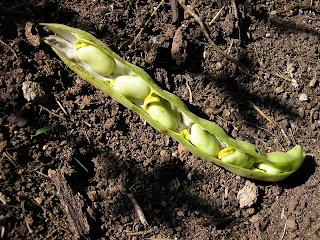 Réussir ses semis - produire ses graines  Zfzegfzef+004