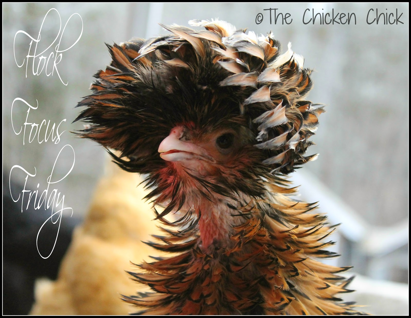 Tolbunt Polish Frizzle hen, molting.