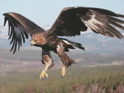 Seekor Elang Tertangkap Kamera Membawa Terbang Kambing [ www.BlogApaAja.com ]