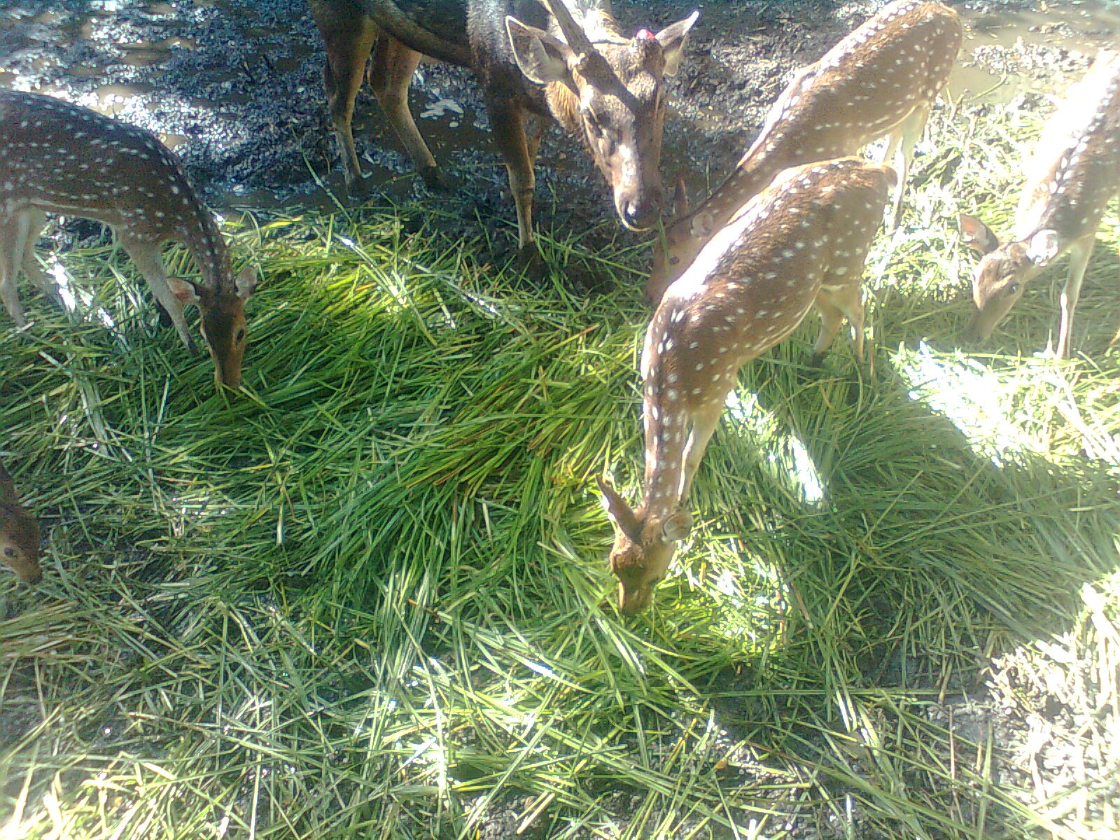 deer feed, food of deer, what to feed deer