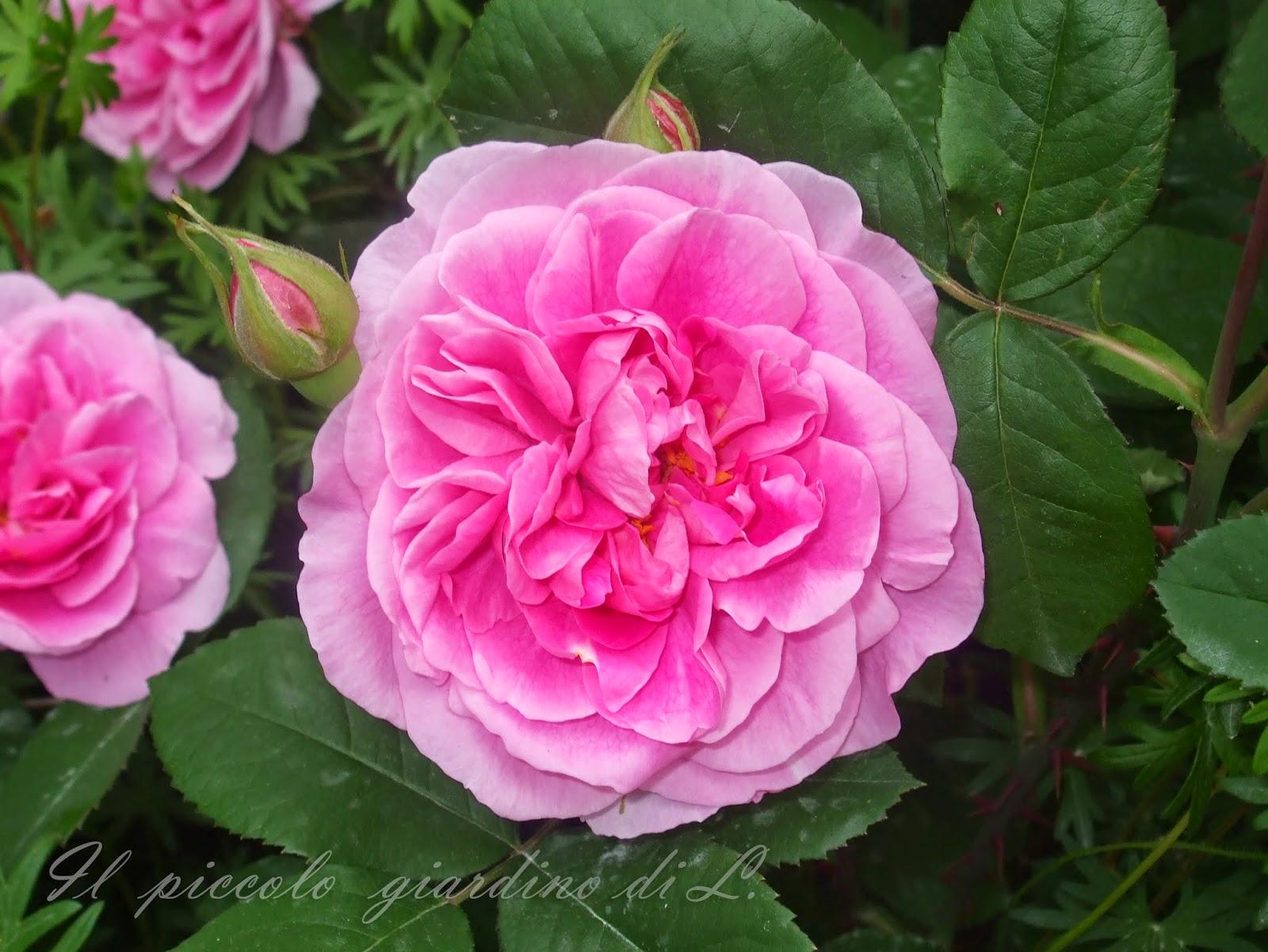 il piccolo giardino di l una rosa inglese molto. Black Bedroom Furniture Sets. Home Design Ideas