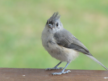 Adorable Little Tufted TItmouse
