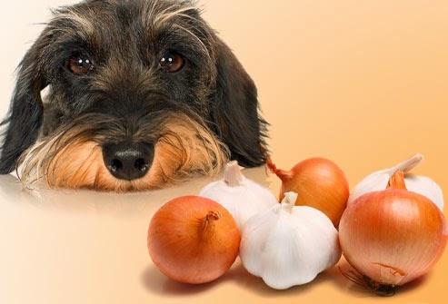 Cachorro pode comer cebola?