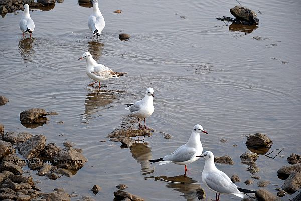 Black Headed Gulls on the Somesul Mic river