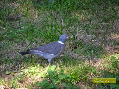 una paloma torcaz posada en el suelo