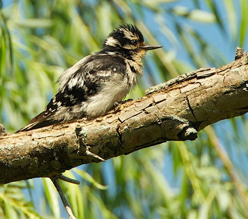 Downy Woodpecker Fledgling Baby Downy Woodpecker