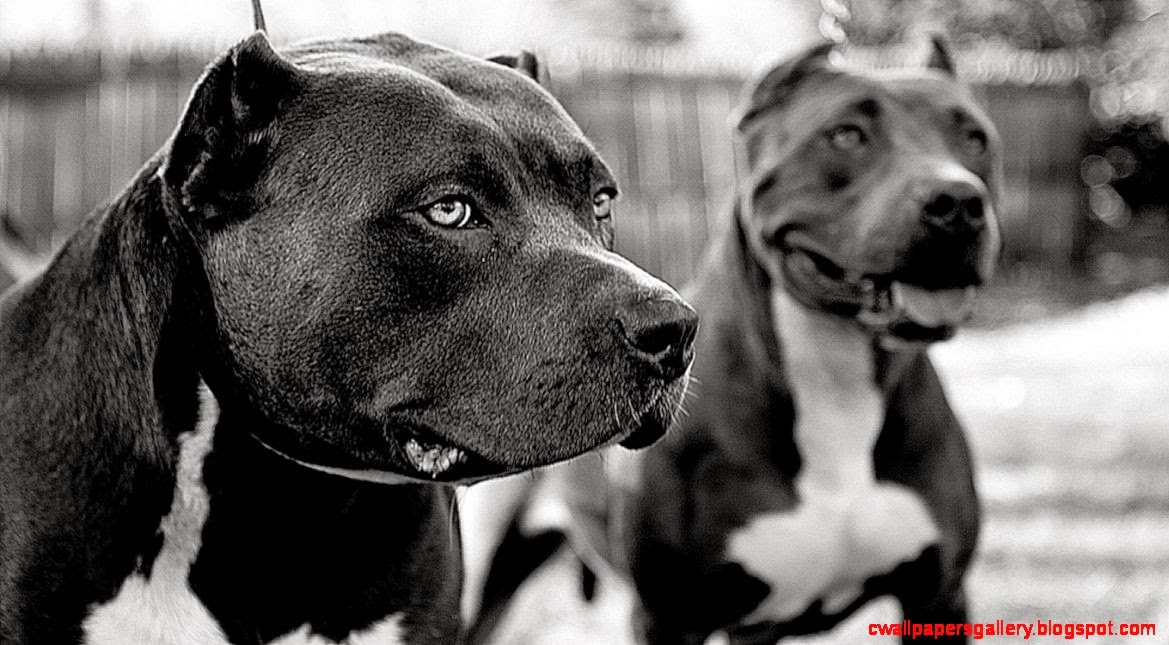 Wallpapers4u Brothers for life pitbull strong playful beautiful