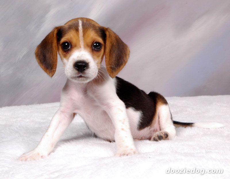 foto beagle: