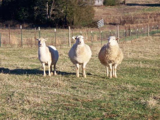 Three pregnant Katahdin ewes in a field