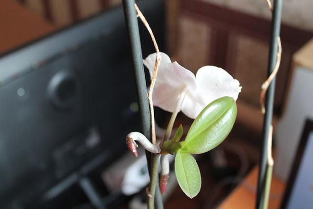 razmnozhenie-orhidei-falenopsis-v-domashnih-uslovijah