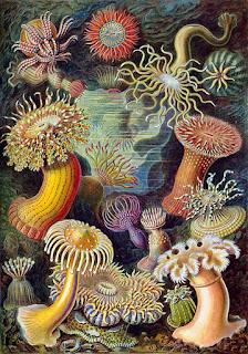 Gravura (litografia) - Obra do livro Kunstformen der Natur (Ernst Haeckel)