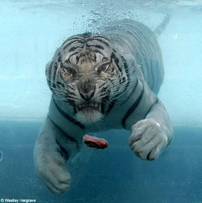 TheJungleStore.com Blog | 6 Incredible Pictures Of Tigers Swimming