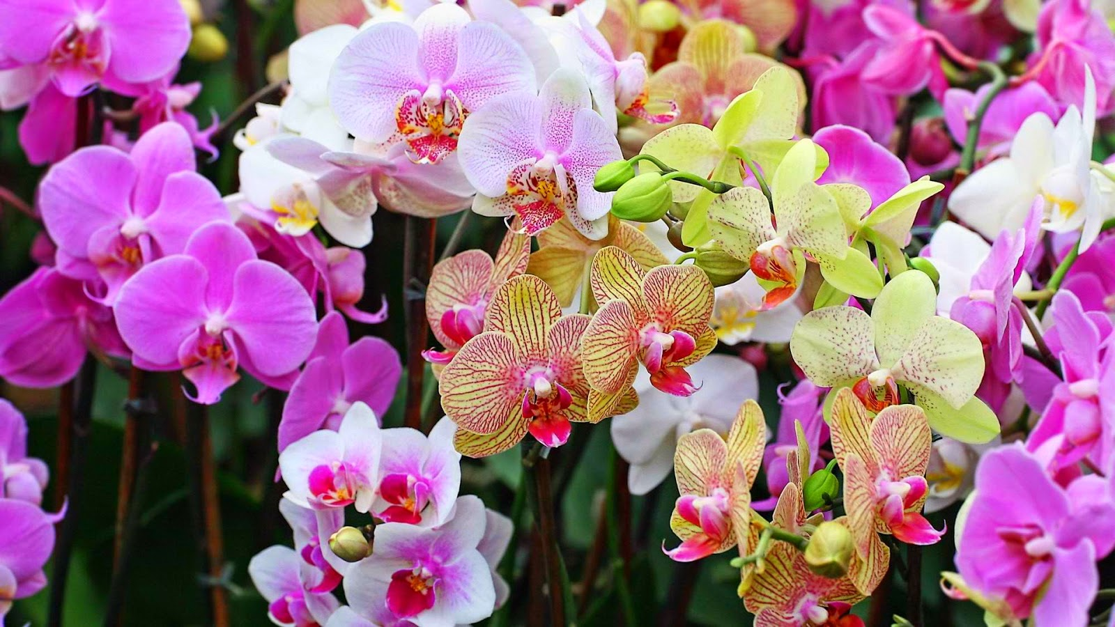 many-colors-orchid-flower-picture-gallery.jpg